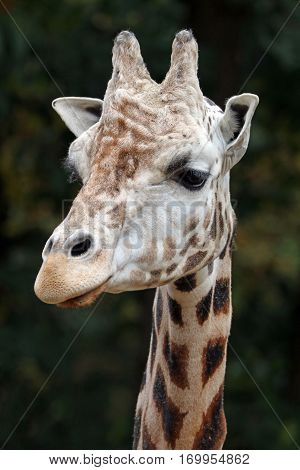 A giraffe head with a green background