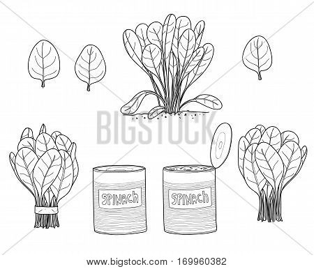 Spinach leaves hand drawn line art vector set art illustratio