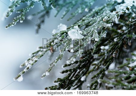 Juniper bushes in the snow. First snow. Snow in the garden on the coniferous bushes. Green juniper sprout under snow