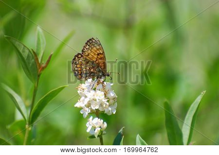 The heath fritillary (Melitaea athalia)Collecting nectar, Butterfly feeding in natural habitat