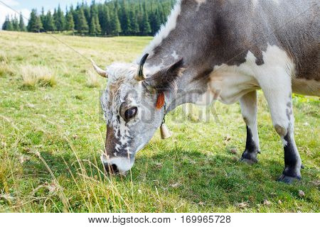 Grey stained cow grazing on mountain pasture with green grass
