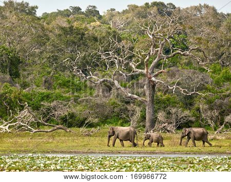 Elephants family in Yala National Park. Sri Lanka