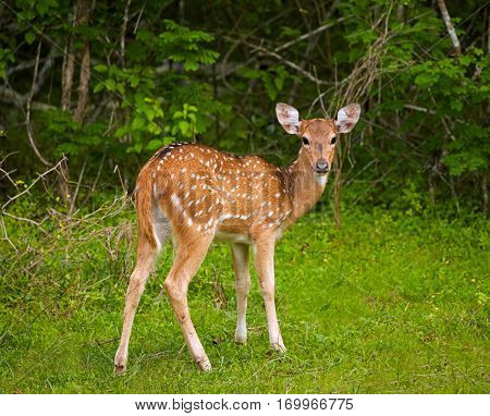 White-tailed deer fawn. Yala national park, Sri Lanka