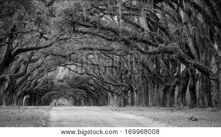 Row of live oaks on Southern Plantation