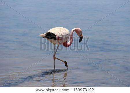 Flamingo in Laguna Chaxa, Salar de Atacama, Chile