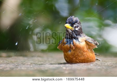 American robin having bird bath