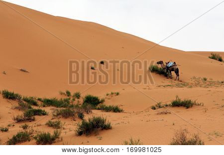 Camel in a desert Shapotou, China c
