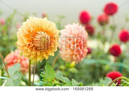 Beautiful Chrysanthemums flower pot