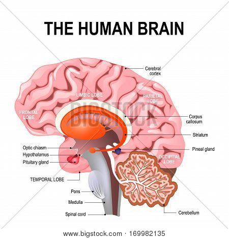 detailed anatomy of the human brain. Illustration showing the medulla pons cerebellum hypothalamus thalamus midbrain. Sagittal view of the brain. Isolated on a white background.