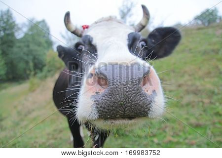 Close-up of a funny cow on farmland in the field