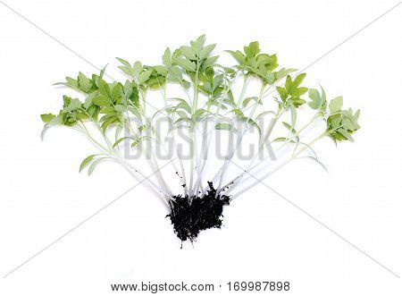 Young plants tomato seedlings isolated on white background