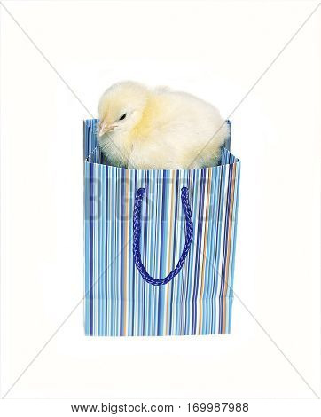 Nestling little yellow chick in blue gift pack isolated on white background