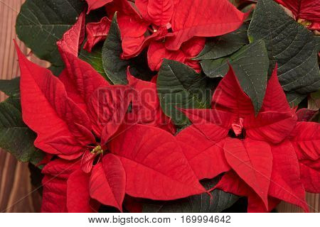 Background from red Poinsettia flowers. (Euphorbia Pulcherrima). Christmas flower.