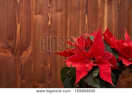 Red Poinsettia flowers (Euphorbia Pulcherrima) on a wooden background. Christmas table decoration. Christmas greeting card with copy space.