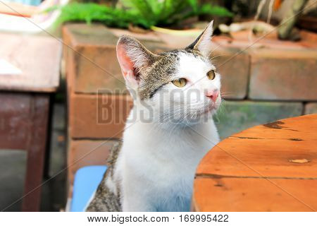 Cat sitting on a chair. Lonely cat watching into nowhere. Cute dirty cat in Thailand