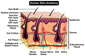 Human Skin Anatomy cross section diagram anatomical figure with all layers epidermis dermis subcutaneous tissue hair follicle shaft artery vein nerve sweat gland cell for medical education poster