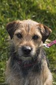 Portrait of small border terrier cross bitch facing camera in pink collar and lead with grass background poster