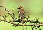 a female chaffinch sitting on a branch of a hawthorn tree. poster