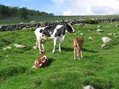 a black cow and two brown cetles in farmland. in the background there's a stone fence and a forest. poster