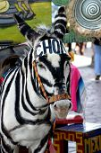 Tijuana donkey camouflaged as a zebra in black and white stripes poster