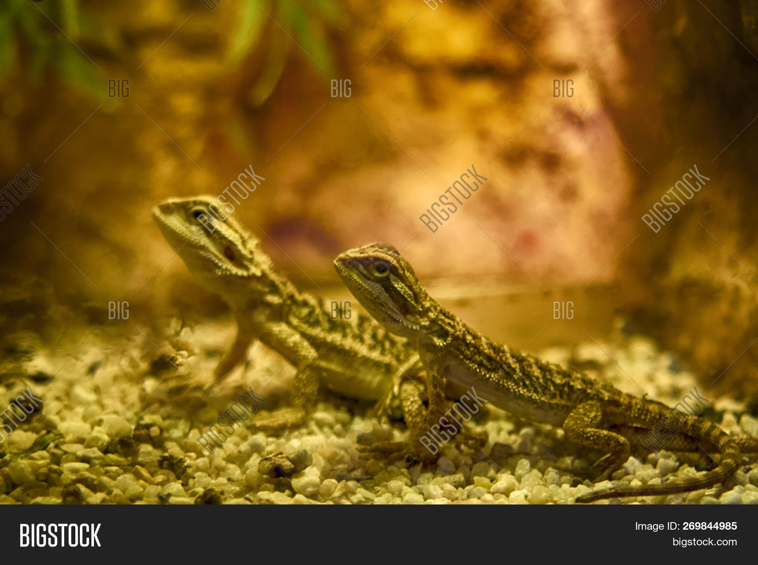Bearded Dragon Close Image & Photo (Free Trial) | Bigstock