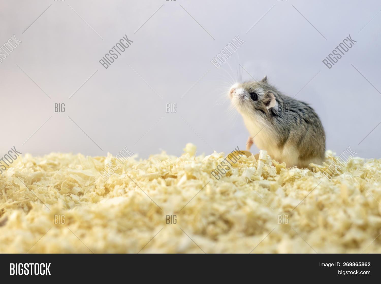 Roborovski Hamster Image & Photo (Free Trial) | Bigstock