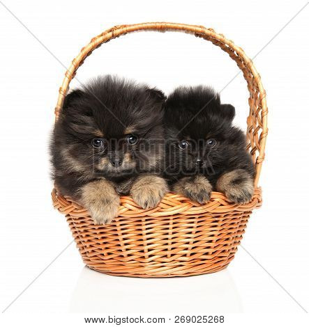 Funny Tiny Spitz Puppies In Wattled Basket On White Background