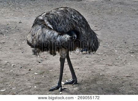Funny Australian Emu With Big Orange Eyes (dromaius Novaehollandiae)