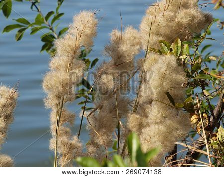 White Puffy Seed Pods From Wild Reeds Growing At Lakeside