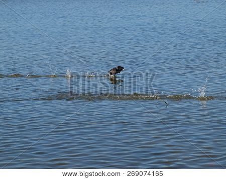 American Common Coot With Its Adjustable Web Feet Can Litterally Walk On Water In Their Take-off Att