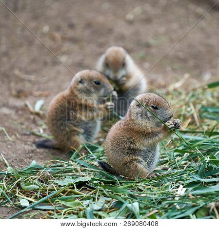 Three Cute Young Prairie Dogs During Feeding
