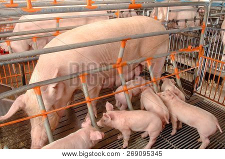 Clean Pigs in Pig Breeding farm in swine business in tidy and clean indoor housing farm, with pig mother feeding piglet poster