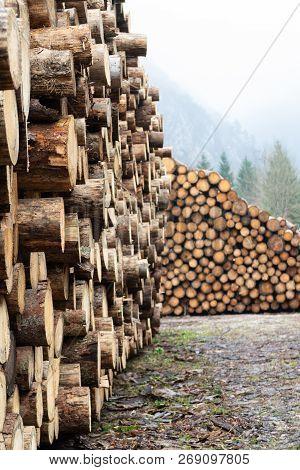Huge Piles Of Large Debarked Spruce Tree Trunks In Lumber Yard
