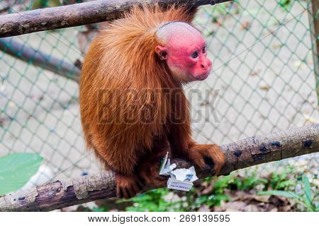 Padre Cocha, Peru - June 19, 2015: The Bald Uakari Monkey Cacajao Calvus Eats Stolen Cigarettes In A