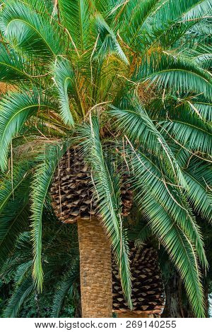 Close Up Of The Top Of A Giant Palm Tree  Sprouting Bright Green Branches.
