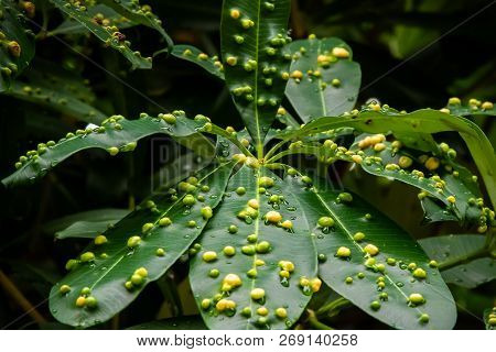 Close Up Of Tree Leaves Covered In Yellow And Green Galls
