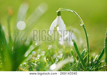 Snowdrops flower is one of the spring symbols with glittering grass