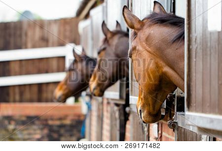 Racehorses In Their Stables Waiting To Be Let Out