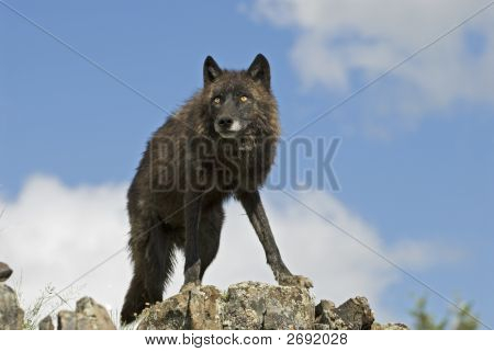 Gray Wolf (Black Phase)