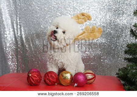 Purebred Bichon Frise dog. Bichon Frise wears Christmas Antlers against a silver sequin background.