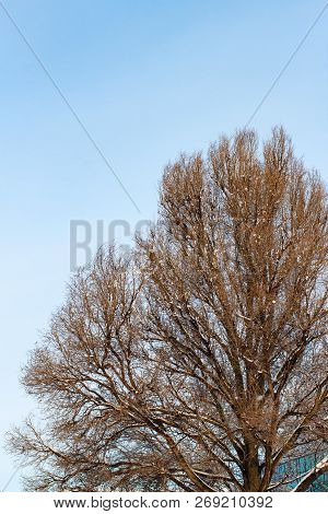 Background Of Trees For A Double Exposure, Trees Against The Sky, Branches On A Homogeneous Blue Bac