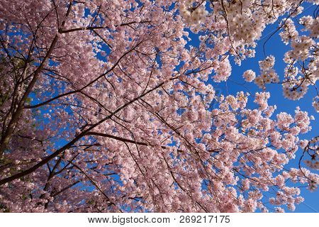 Cherry blossom in full bloom with small cluster flowers on tree branches.