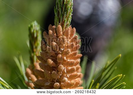 Pine Kidney. Kidney Coniferous Tree Close Up.