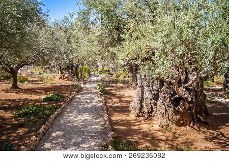Jerusalem, Israel. October 30, 2018. Old Olive Trees In The Gethsemane Garden At The Foot Of The Mou