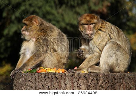 Two Fruit-eating Barbary Macaques