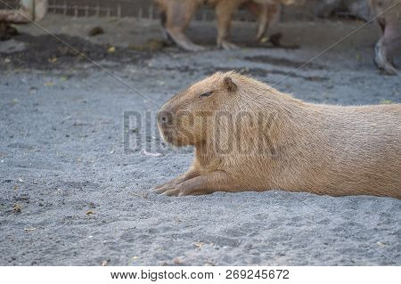 Cute Capybara (biggest mouse) eating and sleepy rest in the zoo, Tainan, Taiwan, close up shot poster