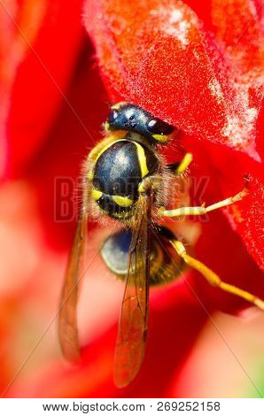 A Wasp On A Red Flower Macro