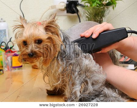 yorkshire terrier  getting his hair cut at the groomer poster