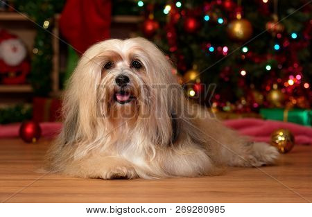 Cheerful Bichon Havanese Dog Is Lying In Front Of A Christmas Tree