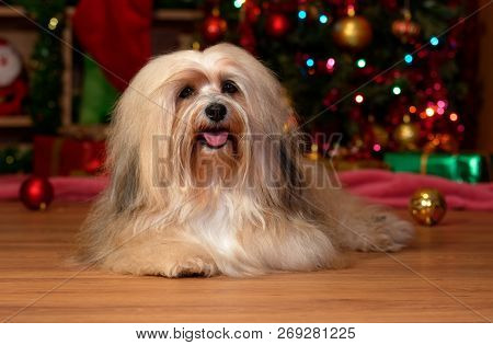 Happy Bichon Havanese Dog Is Lying In Front Of A Christmas Tree And Looking At Camera
